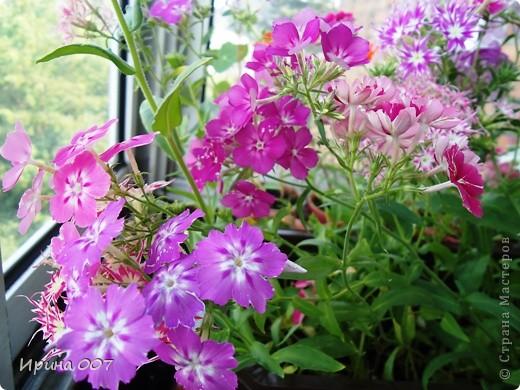 Решила запечатлеть флоксы в период бурного цветения. Скоро начну собирать семена. Приятного просмотра! фото 24