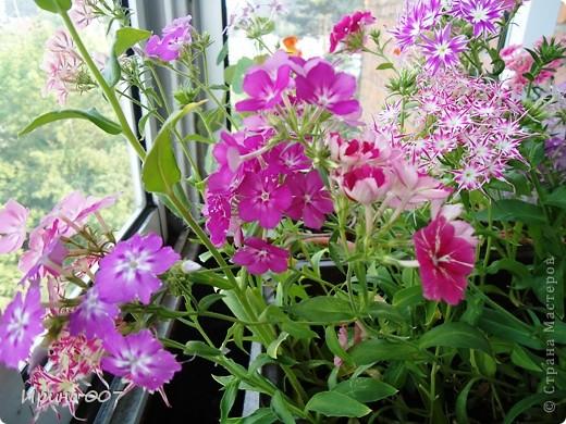 Решила запечатлеть флоксы в период бурного цветения. Скоро начну собирать семена. Приятного просмотра! фото 27
