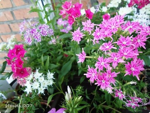 Решила запечатлеть флоксы в период бурного цветения. Скоро начну собирать семена. Приятного просмотра! фото 29
