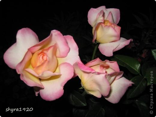 Я не шутила, когда писала, что роз у меня было 50 кустов. фото 15