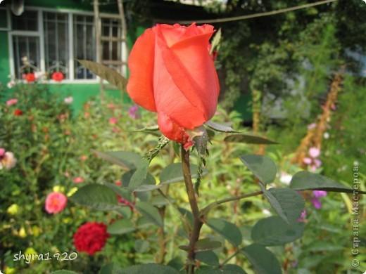 Я не шутила, когда писала, что роз у меня было 50 кустов. фото 21