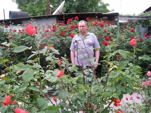 Я не шутила, когда писала, что роз у меня было 50 кустов. фото 26