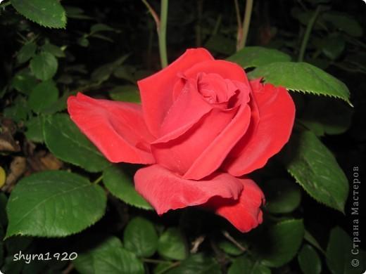 Я не шутила, когда писала, что роз у меня было 50 кустов. фото 1