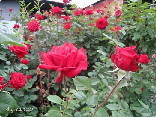 Я не шутила, когда писала, что роз у меня было 50 кустов. фото 23