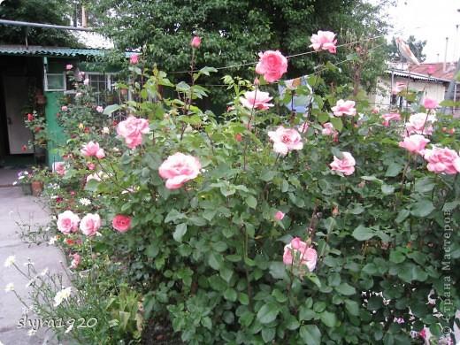 Я не шутила, когда писала, что роз у меня было 50 кустов. фото 24