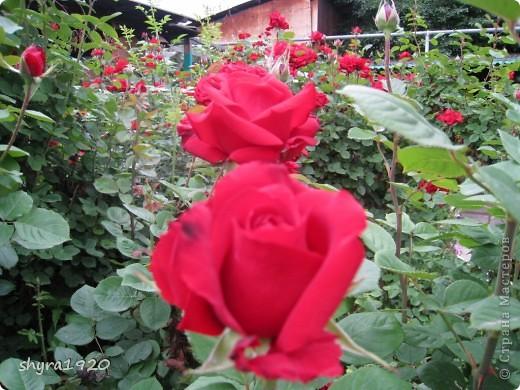 Я не шутила, когда писала, что роз у меня было 50 кустов. фото 25