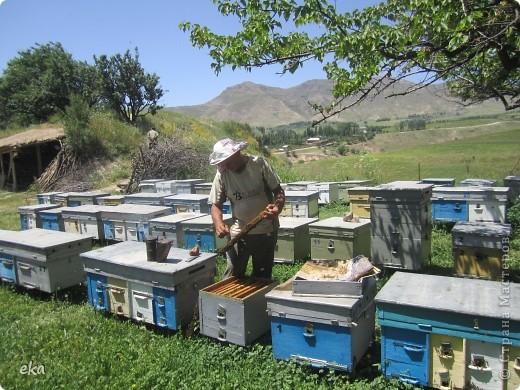 В кишлаке, где стоит наша пасека, все ветки просто ломятся от плодов. Это благодаря труду людей и наших пчёлок, они так тщательно собирают пыльцу и нектар, все цветочки опыляют. фото 12