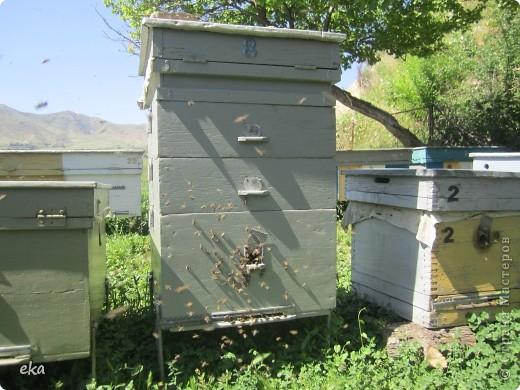 В кишлаке, где стоит наша пасека, все ветки просто ломятся от плодов. Это благодаря труду людей и наших пчёлок, они так тщательно собирают пыльцу и нектар, все цветочки опыляют. фото 13