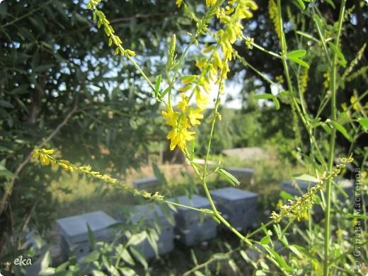 В кишлаке, где стоит наша пасека, все ветки просто ломятся от плодов. Это благодаря труду людей и наших пчёлок, они так тщательно собирают пыльцу и нектар, все цветочки опыляют. фото 16
