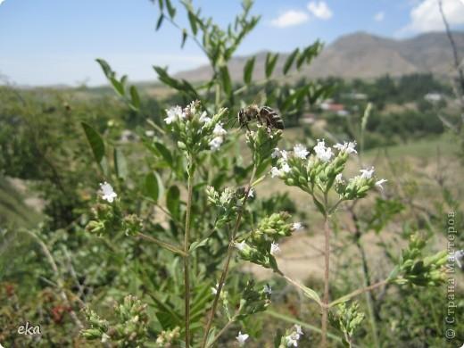 В кишлаке, где стоит наша пасека, все ветки просто ломятся от плодов. Это благодаря труду людей и наших пчёлок, они так тщательно собирают пыльцу и нектар, все цветочки опыляют. фото 21
