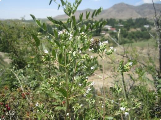 В кишлаке, где стоит наша пасека, все ветки просто ломятся от плодов. Это благодаря труду людей и наших пчёлок, они так тщательно собирают пыльцу и нектар, все цветочки опыляют. фото 22