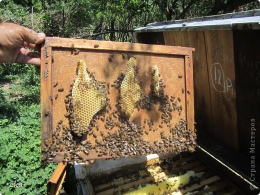 В кишлаке, где стоит наша пасека, все ветки просто ломятся от плодов. Это благодаря труду людей и наших пчёлок, они так тщательно собирают пыльцу и нектар, все цветочки опыляют. фото 29