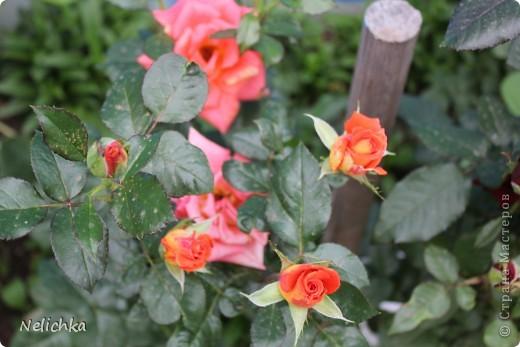Добрый вечер! Хочу поделиться красотой из своего сада. фото 2