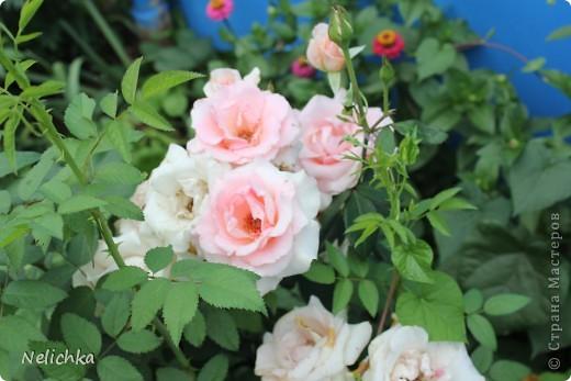 Добрый вечер! Хочу поделиться красотой из своего сада. фото 6
