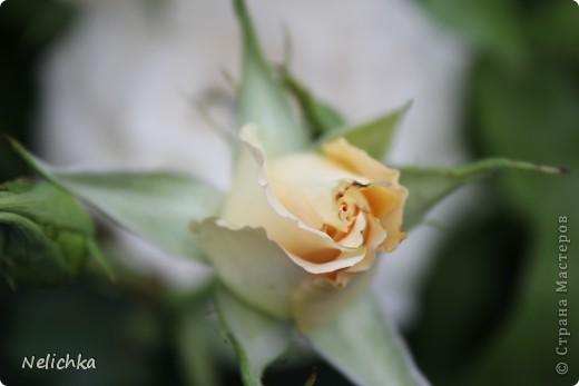 Добрый вечер! Хочу поделиться красотой из своего сада. фото 11