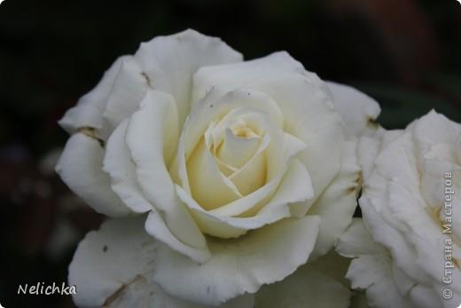 Добрый вечер! Хочу поделиться красотой из своего сада. фото 12