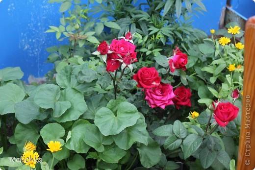 Добрый вечер! Хочу поделиться красотой из своего сада. фото 3