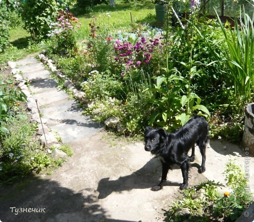 Мы с Тузей приглашаем вас прогуляться по нашей даче...по этой тропиночке мы идем к домику... фото 1