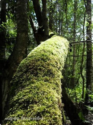 А мы ходили в лес.Там такая красота.Фотоаппарат из рук не выпускала.Как я два литра земляники набрала,не знаю. фото 12