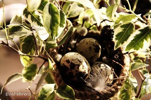 В фикусе живёт гнездо фото 1