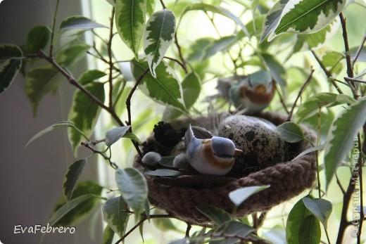 В фикусе живёт гнездо фото 2