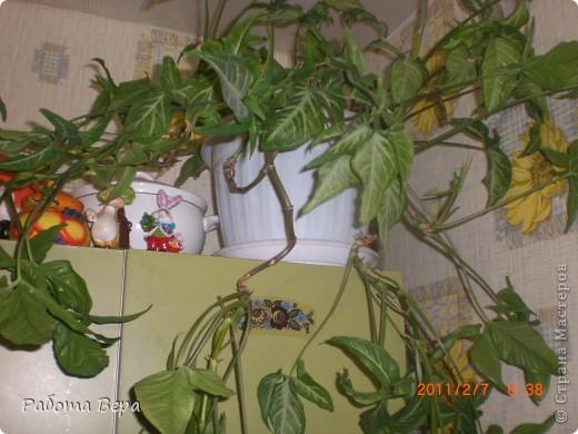 Этот ананасик я вырастила из хохолка! фото 5