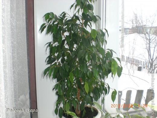Этот ананасик я вырастила из хохолка! фото 6