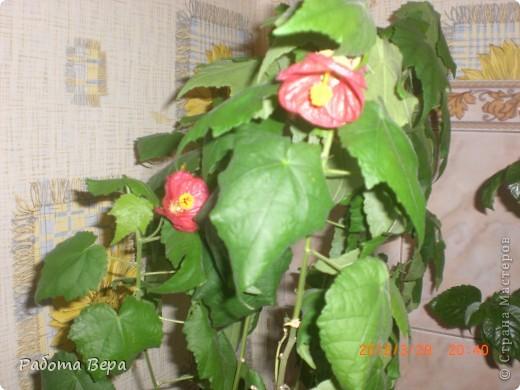 Этот ананасик я вырастила из хохолка! фото 10
