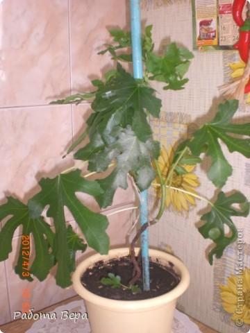 Этот ананасик я вырастила из хохолка! фото 12
