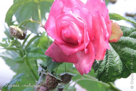вот она, моя лепная красавица))) самой понравилась.. но почему-то лепятся у меня садовые розы все время. ну да ладно, поехали мы в гости к родственнице, а из племянников - у меня только одна девочка, вот и решила ей подарить украшалочку, тем более, она в таком возрасте (13 лет), когда их носить-не переносить))правда украшалочка до племянницы так и не дошла, моя сестра( её мама себе розочку забрала)))) придется почтой потом племяшке высылать её вариант))) фото 3