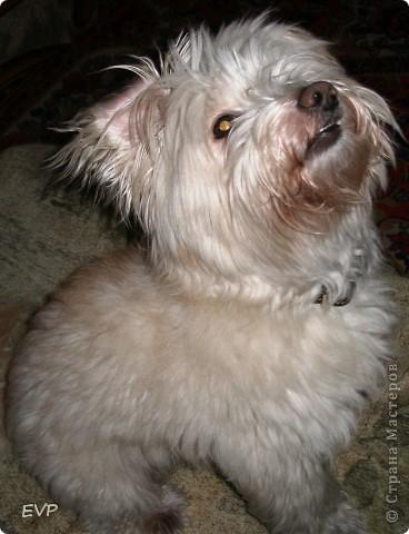 Нашла картинку такой смешной собачки, просто копия нашего домашнего любимца - Кузьмы. Вот, что у меня получилось. фото 3