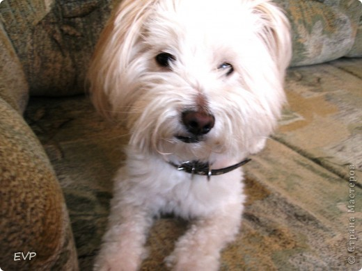 Нашла картинку такой смешной собачки, просто копия нашего домашнего любимца - Кузьмы. Вот, что у меня получилось. фото 4