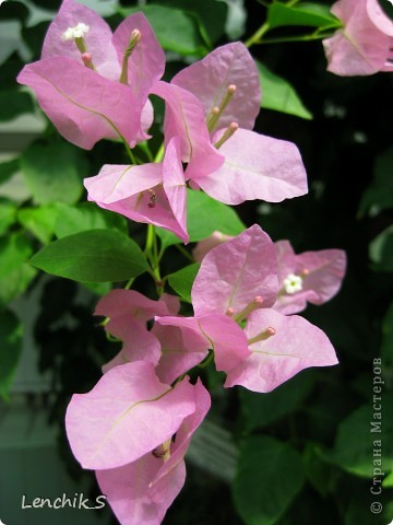 Дорогие жители нашей замечательной страны мастеров, хочу пригласить вас  на прогулку в  Донецкий ботанический сад, а точнее познакомить вас с частью его цветочных экспозиций. Для того чтобы наша прогулка была не скучной, мы будем ее сопровождать замечательными стихами о цветах: Что есть цветы? Трава по сути.  Но как красой ласкают взгляд. фото 7