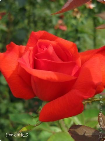 Дорогие жители нашей замечательной страны мастеров, хочу пригласить вас  на прогулку в  Донецкий ботанический сад, а точнее познакомить вас с частью его цветочных экспозиций. Для того чтобы наша прогулка была не скучной, мы будем ее сопровождать замечательными стихами о цветах: Что есть цветы? Трава по сути.  Но как красой ласкают взгляд. фото 15