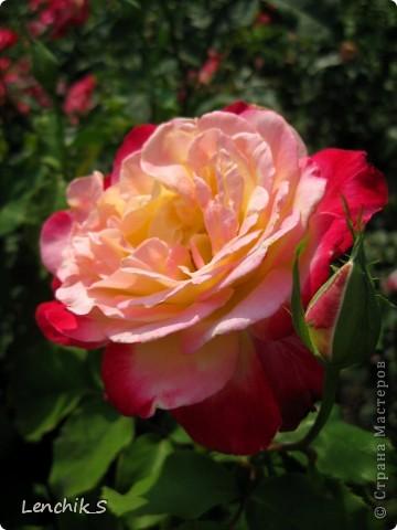 Дорогие жители нашей замечательной страны мастеров, хочу пригласить вас  на прогулку в  Донецкий ботанический сад, а точнее познакомить вас с частью его цветочных экспозиций. Для того чтобы наша прогулка была не скучной, мы будем ее сопровождать замечательными стихами о цветах: Что есть цветы? Трава по сути.  Но как красой ласкают взгляд. фото 16