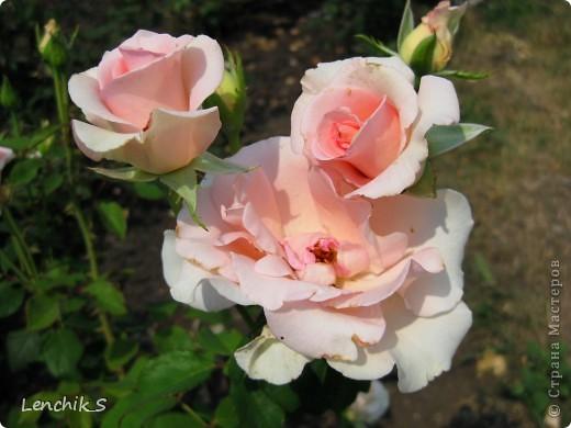 Дорогие жители нашей замечательной страны мастеров, хочу пригласить вас  на прогулку в  Донецкий ботанический сад, а точнее познакомить вас с частью его цветочных экспозиций. Для того чтобы наша прогулка была не скучной, мы будем ее сопровождать замечательными стихами о цветах: Что есть цветы? Трава по сути.  Но как красой ласкают взгляд. фото 24