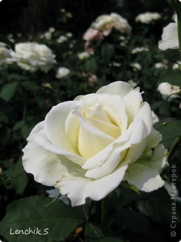 Дорогие жители нашей замечательной страны мастеров, хочу пригласить вас  на прогулку в  Донецкий ботанический сад, а точнее познакомить вас с частью его цветочных экспозиций. Для того чтобы наша прогулка была не скучной, мы будем ее сопровождать замечательными стихами о цветах: Что есть цветы? Трава по сути.  Но как красой ласкают взгляд. фото 21