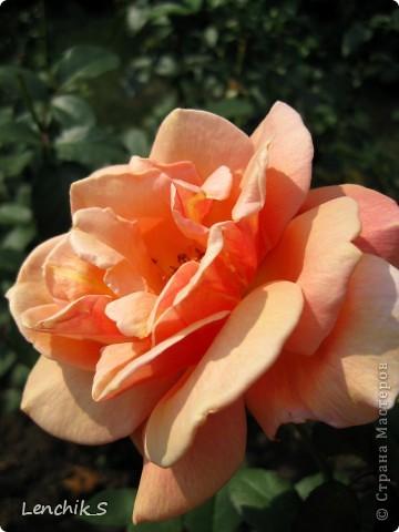Дорогие жители нашей замечательной страны мастеров, хочу пригласить вас  на прогулку в  Донецкий ботанический сад, а точнее познакомить вас с частью его цветочных экспозиций. Для того чтобы наша прогулка была не скучной, мы будем ее сопровождать замечательными стихами о цветах: Что есть цветы? Трава по сути.  Но как красой ласкают взгляд. фото 18