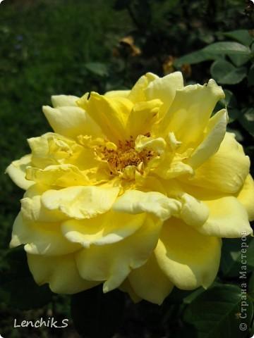 Дорогие жители нашей замечательной страны мастеров, хочу пригласить вас  на прогулку в  Донецкий ботанический сад, а точнее познакомить вас с частью его цветочных экспозиций. Для того чтобы наша прогулка была не скучной, мы будем ее сопровождать замечательными стихами о цветах: Что есть цветы? Трава по сути.  Но как красой ласкают взгляд. фото 22