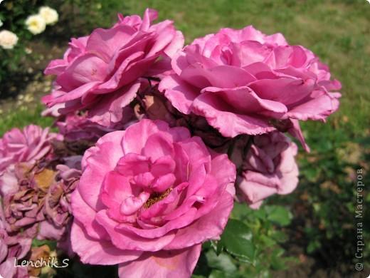 Дорогие жители нашей замечательной страны мастеров, хочу пригласить вас  на прогулку в  Донецкий ботанический сад, а точнее познакомить вас с частью его цветочных экспозиций. Для того чтобы наша прогулка была не скучной, мы будем ее сопровождать замечательными стихами о цветах: Что есть цветы? Трава по сути.  Но как красой ласкают взгляд. фото 19