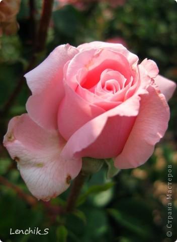 Дорогие жители нашей замечательной страны мастеров, хочу пригласить вас  на прогулку в  Донецкий ботанический сад, а точнее познакомить вас с частью его цветочных экспозиций. Для того чтобы наша прогулка была не скучной, мы будем ее сопровождать замечательными стихами о цветах: Что есть цветы? Трава по сути.  Но как красой ласкают взгляд. фото 20