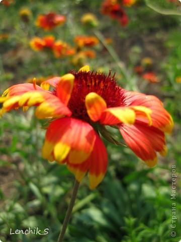 Дорогие жители нашей замечательной страны мастеров, хочу пригласить вас  на прогулку в  Донецкий ботанический сад, а точнее познакомить вас с частью его цветочных экспозиций. Для того чтобы наша прогулка была не скучной, мы будем ее сопровождать замечательными стихами о цветах: Что есть цветы? Трава по сути.  Но как красой ласкают взгляд. фото 27