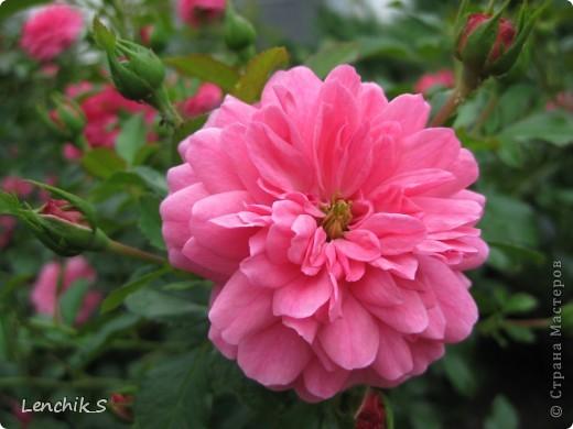 Дорогие жители нашей замечательной страны мастеров, хочу пригласить вас  на прогулку в  Донецкий ботанический сад, а точнее познакомить вас с частью его цветочных экспозиций. Для того чтобы наша прогулка была не скучной, мы будем ее сопровождать замечательными стихами о цветах: Что есть цветы? Трава по сути.  Но как красой ласкают взгляд. фото 28