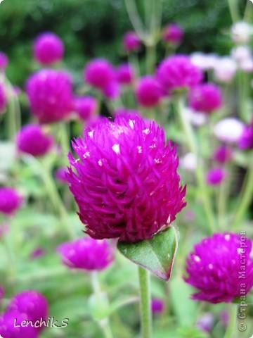 Дорогие жители нашей замечательной страны мастеров, хочу пригласить вас  на прогулку в  Донецкий ботанический сад, а точнее познакомить вас с частью его цветочных экспозиций. Для того чтобы наша прогулка была не скучной, мы будем ее сопровождать замечательными стихами о цветах: Что есть цветы? Трава по сути.  Но как красой ласкают взгляд. фото 29