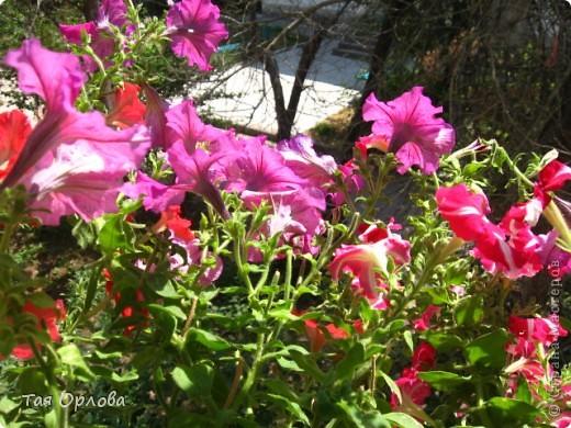 Приветик всем! К сожалению у нас нет ни огорода,ни дачи.Несколько лет подряд я выращивала летом цветы в горшках за окном.А в этом году решила в эти же горшки высадить огурцы.Было очень интересно ,что из этого получится.И вот сегодня 15июля 2012 г я хочу с гордостью сказать,что эксперимент удался!!!УРА!!!Урожай правда пришлось ждать долговато-погода в начале июня внесла свои коррективы:было прохладно и шли дожди.Мои огурчики долго болели.Но вот сегодня нашей семьей был торжественно съеден первый собственноручно выращенный огурец.Вкусный,сладкий оказался,а главное экологически чистый продукт.  фото 3