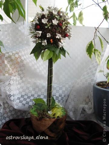 Кофейное деревце. фото 1