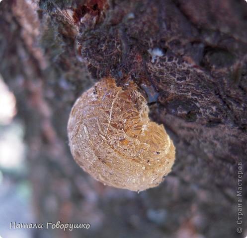 """Всегда нравился янтарь. Красивые легенды связанные с этим камнем... Смола древних деревьев... И однажды меня осенило - так вот же он янтарь! Живой! Еще не упрятанный на сотни столетий под землю! Так началось мое новое увлечение - съемка в макро капель смолы на деревьях. Оказалось - завораживающее зрелище! """"Кусок промытый янтаря, Прозрачный, как заря, Вчерашний выбросил прибой В подарок нам с тобой. Прозрачный, как цветочный мед, Он весь сквозит на свет. Он к нам дошел, к другим дойдет Сквозь сотни тысяч лет. Он выплыл к нам с морского дна, Где тоже жизнь цвела, А в глубине его видна Застывшая пчела. И я сквозь тысячи годов За ней готов в полет: Узнать - с каких она цветов Свой собирала мед. Я жизнь люблю. Она рассказ Развертывает свой. и как мы счастливы сейчас, Лишь знаем мы с тобой. Теперь уже не наугад, Наш опыт разберет - И что такое в жизни яд И что такое мед. Любовь. Ее не взять годам И силой не сломать. Я сам, я сам ее раздам, Чтобы опять, опять Она на радость молодым В прожилках янтаря Сквозь сотни лет пришла к другим, Живым огнем горя.""""                          М. Дудин фото 3"""