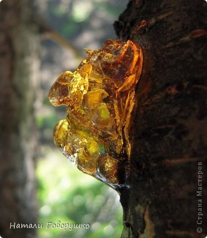 """Всегда нравился янтарь. Красивые легенды связанные с этим камнем... Смола древних деревьев... И однажды меня осенило - так вот же он янтарь! Живой! Еще не упрятанный на сотни столетий под землю! Так началось мое новое увлечение - съемка в макро капель смолы на деревьях. Оказалось - завораживающее зрелище! """"Кусок промытый янтаря, Прозрачный, как заря, Вчерашний выбросил прибой В подарок нам с тобой. Прозрачный, как цветочный мед, Он весь сквозит на свет. Он к нам дошел, к другим дойдет Сквозь сотни тысяч лет. Он выплыл к нам с морского дна, Где тоже жизнь цвела, А в глубине его видна Застывшая пчела. И я сквозь тысячи годов За ней готов в полет: Узнать - с каких она цветов Свой собирала мед. Я жизнь люблю. Она рассказ Развертывает свой. и как мы счастливы сейчас, Лишь знаем мы с тобой. Теперь уже не наугад, Наш опыт разберет - И что такое в жизни яд И что такое мед. Любовь. Ее не взять годам И силой не сломать. Я сам, я сам ее раздам, Чтобы опять, опять Она на радость молодым В прожилках янтаря Сквозь сотни лет пришла к другим, Живым огнем горя.""""                          М. Дудин фото 10"""