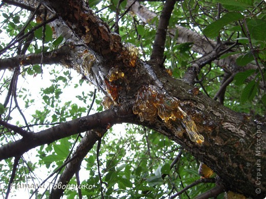 """Всегда нравился янтарь. Красивые легенды связанные с этим камнем... Смола древних деревьев... И однажды меня осенило - так вот же он янтарь! Живой! Еще не упрятанный на сотни столетий под землю! Так началось мое новое увлечение - съемка в макро капель смолы на деревьях. Оказалось - завораживающее зрелище! """"Кусок промытый янтаря, Прозрачный, как заря, Вчерашний выбросил прибой В подарок нам с тобой. Прозрачный, как цветочный мед, Он весь сквозит на свет. Он к нам дошел, к другим дойдет Сквозь сотни тысяч лет. Он выплыл к нам с морского дна, Где тоже жизнь цвела, А в глубине его видна Застывшая пчела. И я сквозь тысячи годов За ней готов в полет: Узнать - с каких она цветов Свой собирала мед. Я жизнь люблю. Она рассказ Развертывает свой. и как мы счастливы сейчас, Лишь знаем мы с тобой. Теперь уже не наугад, Наш опыт разберет - И что такое в жизни яд И что такое мед. Любовь. Ее не взять годам И силой не сломать. Я сам, я сам ее раздам, Чтобы опять, опять Она на радость молодым В прожилках янтаря Сквозь сотни лет пришла к другим, Живым огнем горя.""""                          М. Дудин фото 14"""