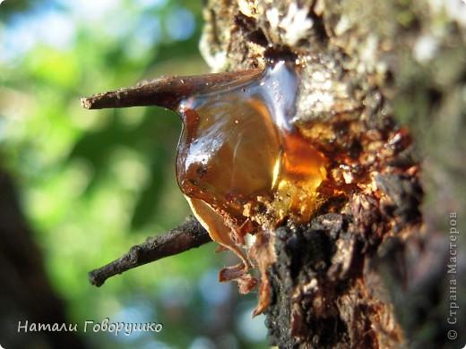 """Всегда нравился янтарь. Красивые легенды связанные с этим камнем... Смола древних деревьев... И однажды меня осенило - так вот же он янтарь! Живой! Еще не упрятанный на сотни столетий под землю! Так началось мое новое увлечение - съемка в макро капель смолы на деревьях. Оказалось - завораживающее зрелище! """"Кусок промытый янтаря, Прозрачный, как заря, Вчерашний выбросил прибой В подарок нам с тобой. Прозрачный, как цветочный мед, Он весь сквозит на свет. Он к нам дошел, к другим дойдет Сквозь сотни тысяч лет. Он выплыл к нам с морского дна, Где тоже жизнь цвела, А в глубине его видна Застывшая пчела. И я сквозь тысячи годов За ней готов в полет: Узнать - с каких она цветов Свой собирала мед. Я жизнь люблю. Она рассказ Развертывает свой. и как мы счастливы сейчас, Лишь знаем мы с тобой. Теперь уже не наугад, Наш опыт разберет - И что такое в жизни яд И что такое мед. Любовь. Ее не взять годам И силой не сломать. Я сам, я сам ее раздам, Чтобы опять, опять Она на радость молодым В прожилках янтаря Сквозь сотни лет пришла к другим, Живым огнем горя.""""                          М. Дудин фото 19"""